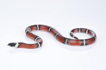 Milk Snake with white background