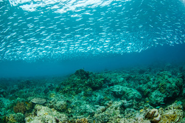 Schooling fishes in Gili Lombok Nusa Tenggara Barat underwater