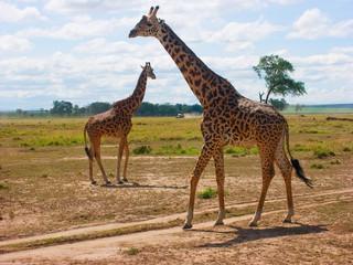 Masai giraffe (Giraffa camelpardalis tippelskirchi)