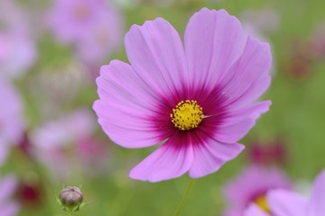the pink flower in the garden