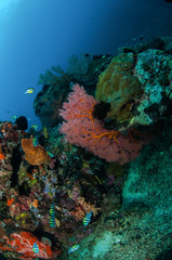 Damselfish, seafan in Gili Lombok Nusa Tenggara Barat underwater