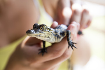 Baby alligator being held, Everglades in Florida.