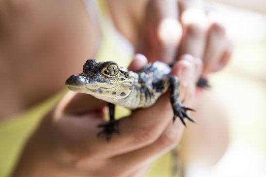 Baby alligator being held, Everglades in Florida.