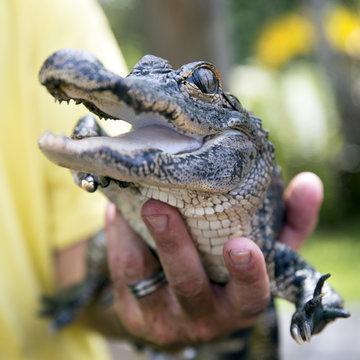 Cute baby alligator being held, Everglades, Florida.