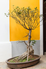 Bonsai tree with no leaf