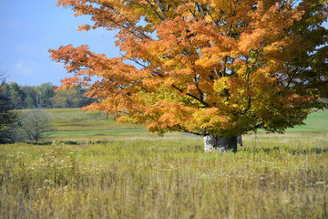 Fototapete - Large Maple Tree in Vivid Fall Colors