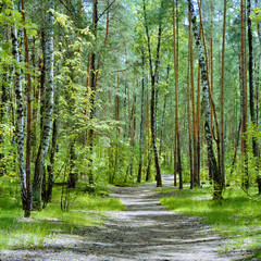 The trail in the forest with birches and pines in a spring day