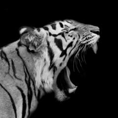 Wall Mural - Sumatran Tiger Roaring