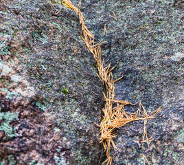 Pine needles on the stone