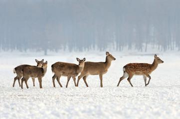 Fototapete - Young deer