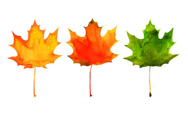 maple leaf in red, yellow, green colors