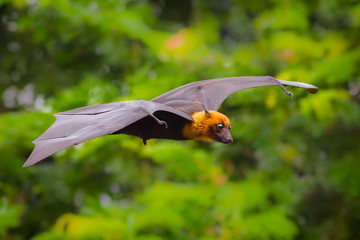 Flying male Lyle's flying fox (Pteropus lylei)