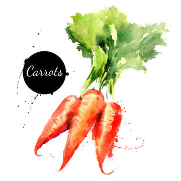 Carrots. Hand drawn watercolor painting on white backgroundŒ