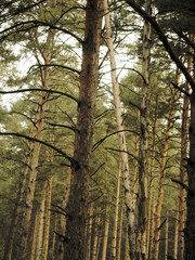 Vintage Photo of Pine Forest