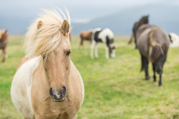 Wild Icelandic horse looking at camera.