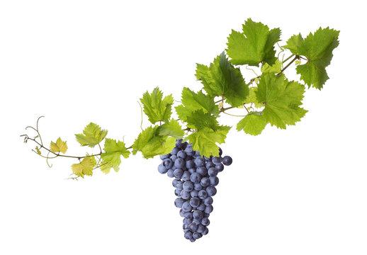 Vine leaves isolated on white