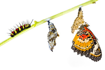 Leopard lacewing butterfly life cycle