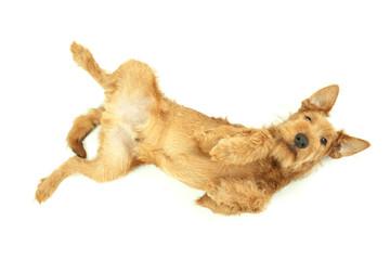 Purebred dog Irish Terrier