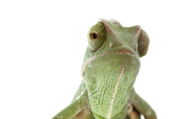 Beautiful baby chameleon as exotic pet, narrow focus on eyes