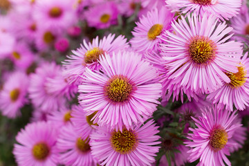 autumn pink chrysanthemum or aster flowers meadow