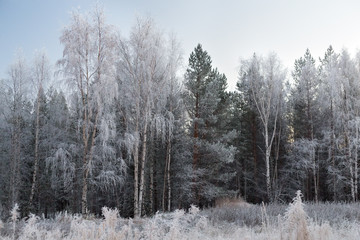 Trees in hoarfrost