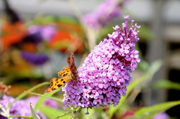 Comma butterfly on a pink buddleja © Arena Photo UK