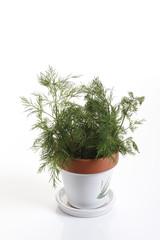 Dill ( Anethum graveolens ) im Blumentopf