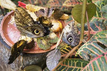 Farfalla Civetta