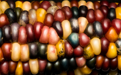 Multi Colored Indian Corn Maize Close Up