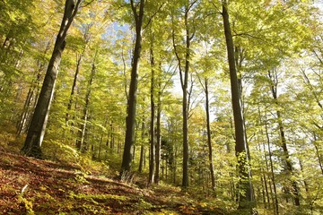 Majestic beech forest in autumn colors