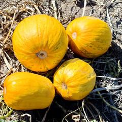 Solar pumpkins.