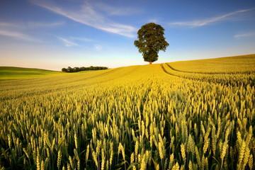 Krajobraz wiejski, młode zboże - fototapety na wymiar