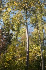 Cimes des arbres