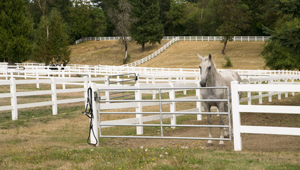 Beautiful White Horse Equestrian Stable Animal Paddock