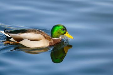Schöne Ente