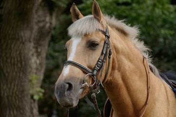 Portrait of  brown horse.
