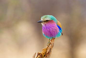 Wall Murals Lilac Lilac Breasted Roller Perched