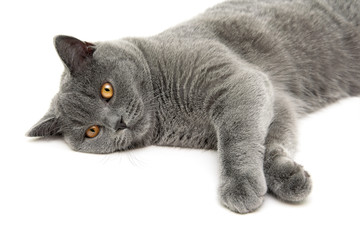 cat breed Scottish Straight lies on a white background