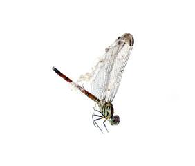 Dragonfly spider silk