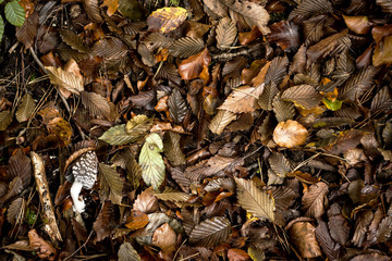 autumn nature background with tan leaves and a coprinus comatus