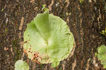 Platycerium Staghorn Ferns