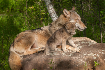 Fototapete - Grey Wolf (Canis lupus) and Her Pup Relax Atop Rock