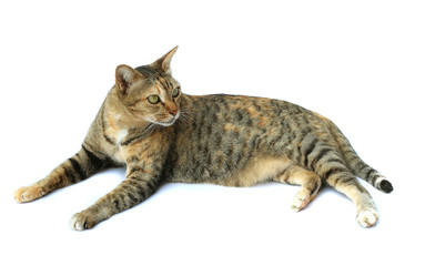 Image of cat isolated on white background.