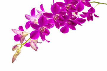 Purple Phalaenopsis orchids close up