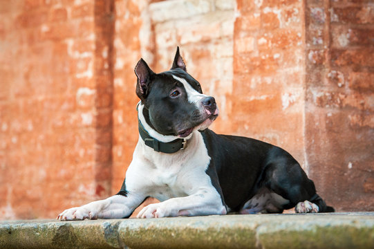American staffordshire terrier on the walk in the castle