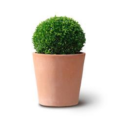 Buchsbaumkugel im Terracotta Topf Freisteller