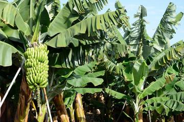 bilder und videos suchen bananenpflanze. Black Bedroom Furniture Sets. Home Design Ideas