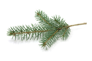 The branch of blue spruce on white background