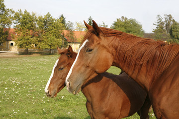 Mare and her foal in summer meadow