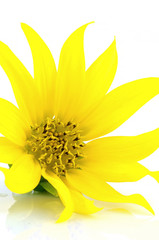 Blossom Sunflower Isolated on White Background